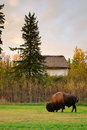 Plains Bison Stock Images