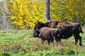 Plains bison roaming herds of wild elk island national park alberta canada Stock Photo
