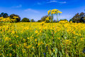 Plains Coreopsis(Coreopsis tinctoria) Yellow Wildflower in Texas Royalty Free Stock Photo