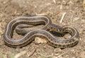 Plains Garter Snake Royalty Free Stock Photo