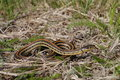 Plains garter snake - Thamnophis radix Royalty Free Stock Photo