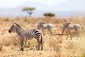 Plains and Grevy's zebras Royalty Free Stock Photo