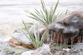 Plains Yucca covered in thick layer of ice Stock Images