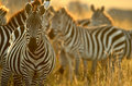 Plains zebra Stock Photos