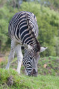 Plains Zebra Royalty Free Stock Photography