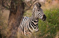 Plains zebra Stock Images