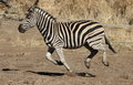 Plains zebra common zebra or burchell s zebra equus quagga running at t pilanesberg national park northwest province south africa Royalty Free Stock Photography