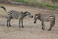 Plains zebra the couple of adult zebras Stock Photos