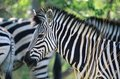Plains zebra equus burchelli close up Royalty Free Stock Photos