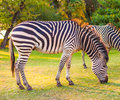 Plains zebra (Equus quagga) grazing Stock Photos