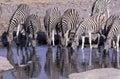 Plains zebra equus quagga group mammals at water namibia Stock Photography