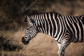 PLAINS ZEBRA (Equus quagga) profile view Stock Photos
