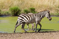 Plains zebra in masai mara Stock Photos