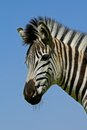 Plains Zebra portrait Stock Photos