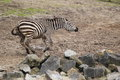 Plains zebra the running in the soil Royalty Free Stock Photography