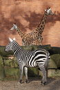 Plains zebra and two giraffes Stock Photo