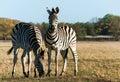 Plains zebra two striped zebra close up african savanna Stock Image