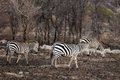 Plains zebra walking through burned forest serengeti tanzania africa Stock Photos