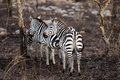 Plains zebra walking through burned forest serengeti tanzania africa Royalty Free Stock Photo