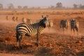 Plains Zebras Royalty Free Stock Photo