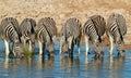 Plains Zebras drinking water Royalty Free Stock Photo