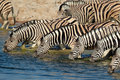 Plains Zebras drinking water Stock Images