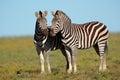 Plains zebras a pair of burchells equus burchelli south africa Royalty Free Stock Photo