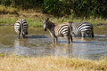 Plains zebras in the water hole Stock Images