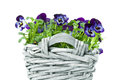 Plait basket violett sweet pansies isolated white background Royalty Free Stock Images