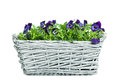 Plait basket violett sweet pansies isolated white background Stock Images