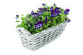 Plait basket violett sweet pansies white background Stock Image