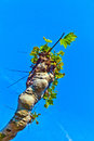 Plane tree with blue sky Stock Images