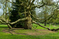 Plane tree strangely shaped in a park Royalty Free Stock Images