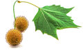 Plane tree sycamore leaves and flowers isolated on white Royalty Free Stock Photos