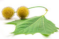 Plane tree sycamore leaves and flowers isolated on white Stock Photography