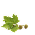 Plane tree, sycamore leaves and flowers isolated on white Royalty Free Stock Photo