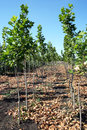 Planetree production in the nursery Stock Photo