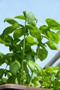 Plant basil in a pot of growing in a greenhouse Stock Images