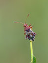 Plant bug Royalty Free Stock Image