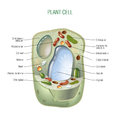 Plant cell cut away scientifically correct vector illustration for best prints and other uses Royalty Free Stock Photo