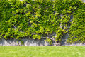 Plant climbing on the wall with bright green leaves Royalty Free Stock Photo