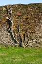 Plant clinging to stone wall roots and branches of a grown and a shale over green grass Royalty Free Stock Images