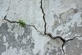 The plant in a crack plants grow cracked gray wall background Royalty Free Stock Image