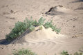 Plant in the desert sands Royalty Free Stock Photo
