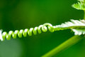 Plant detail vetch tendril Royalty Free Stock Photo
