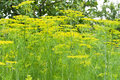 Plant of dill Royalty Free Stock Photo