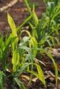 Plant disease, corn downy mildew disease Royalty Free Stock Photo