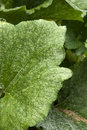 Plant disease - powdery mildew Stock Image