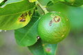 Plant diseases citrus canker on lime Royalty Free Stock Photos