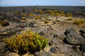 Plant flower timanfaya volcanic rock stone sky hill lanzar bush in los volcanes and summer lanzarote spain Stock Photography